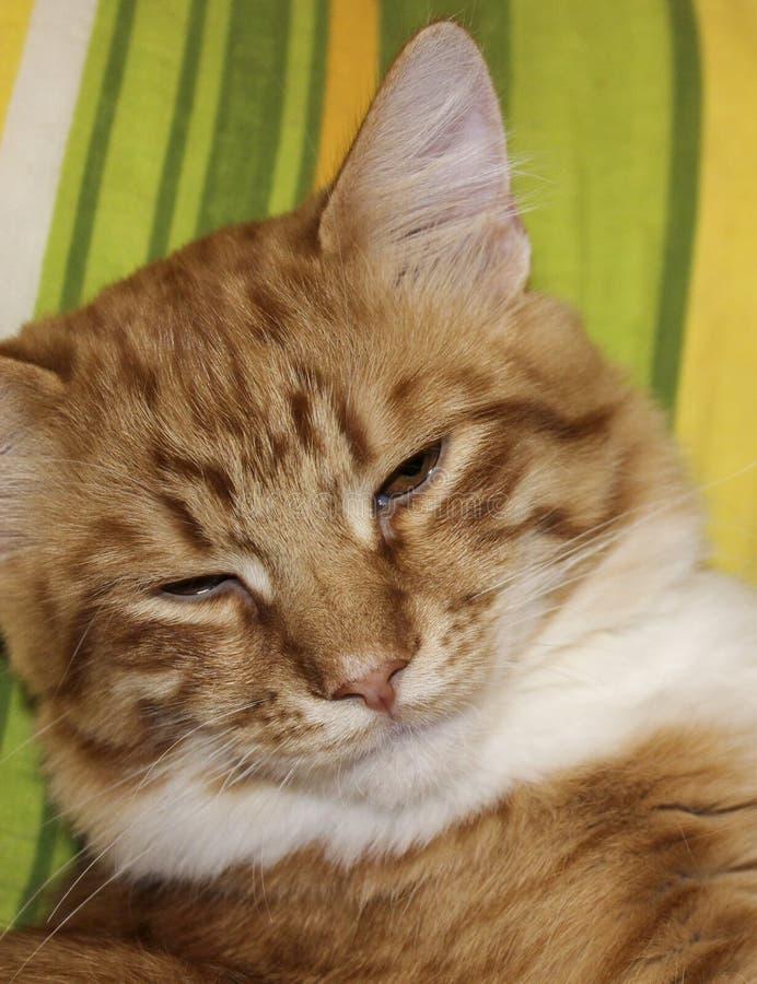 Gesicht des weißen Rotes streifte Katze mit halb geschlossenen Augen ab stockfotografie