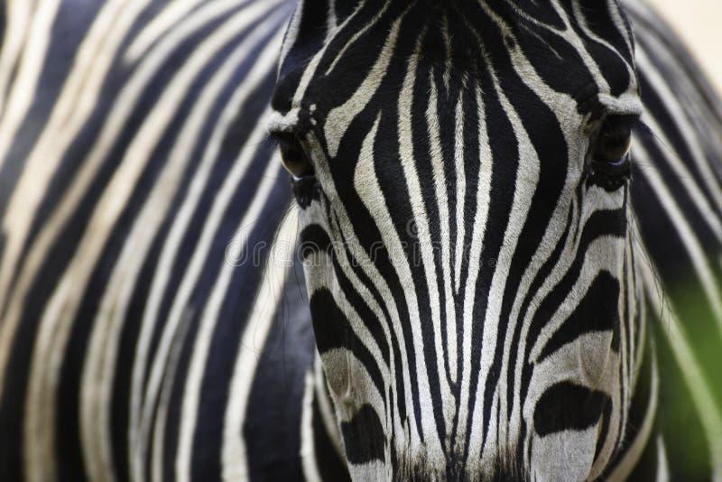 Gesicht eines Ebenen-Zebra Equus Quagga stockbilder