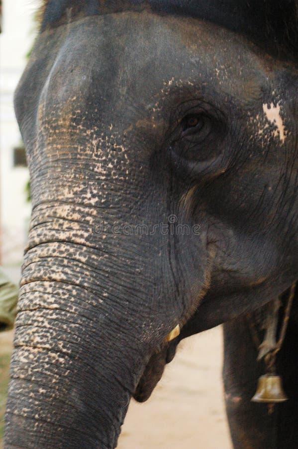 Gesicht eines indischen Elefanten lizenzfreies stockfoto