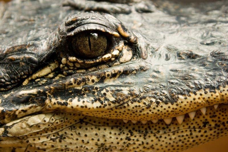 Gesicht eines Krokodils stockfoto