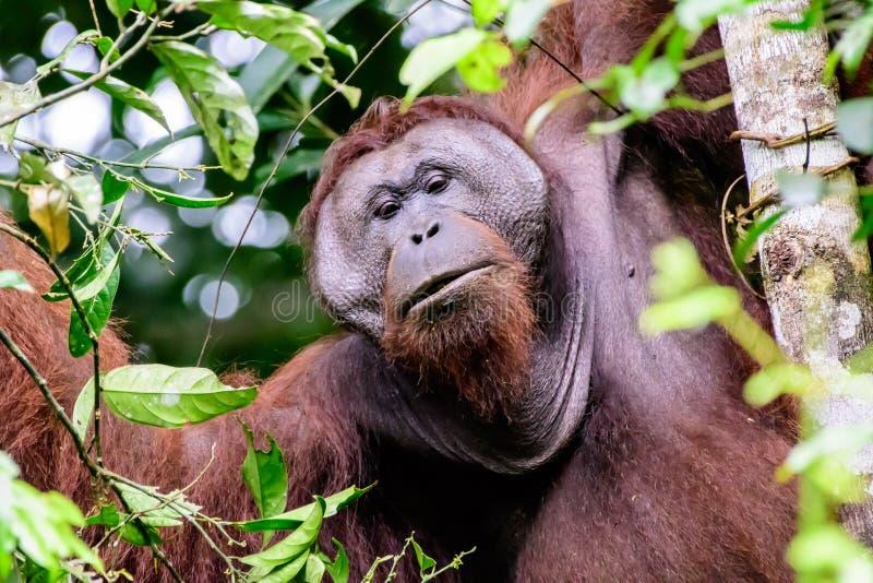 Gesicht eines männlichen Flansch Orang-Utans lizenzfreies stockbild