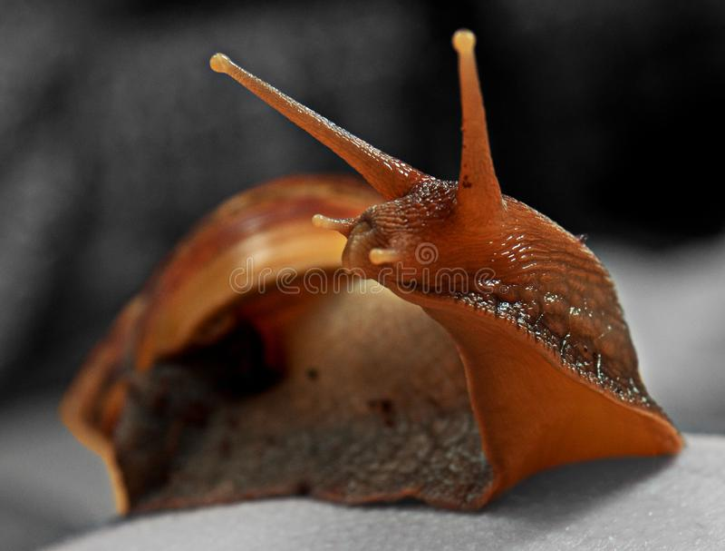 Gesicht Schnecke Achatina im Detail stockfoto