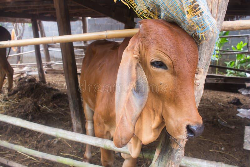Gesicht von Asien-Ochsen und von Kuh, Thailand lizenzfreie stockfotografie