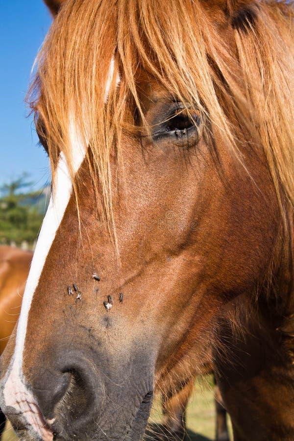 Gesichts-Kopf pottok des glücklichen Zens baskisches Pferdemit den Fliegen, die auf seiner Nase sitzen lizenzfreies stockfoto