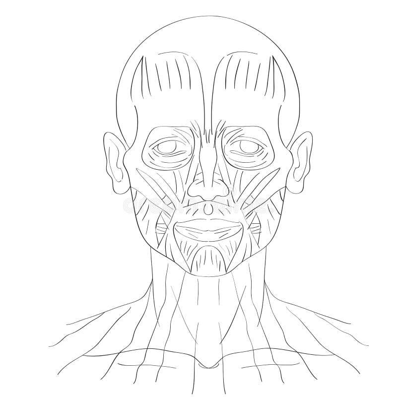 Großartig Gesichtsmuskel Galerie - Menschliche Anatomie Bilder ...