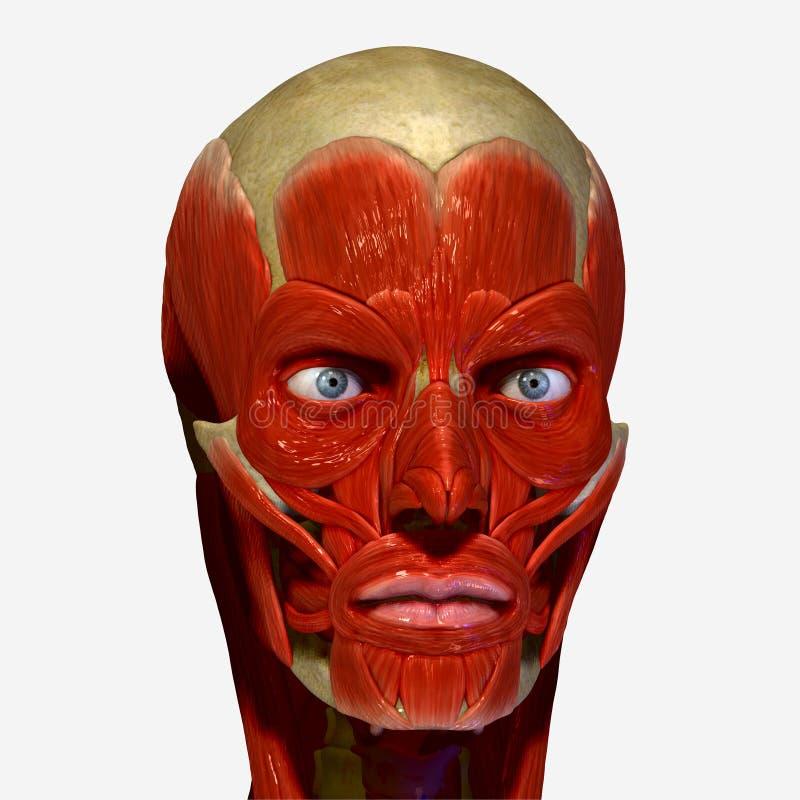 Gesichtsmuskeln stock abbildung. Illustration von auge - 39027549