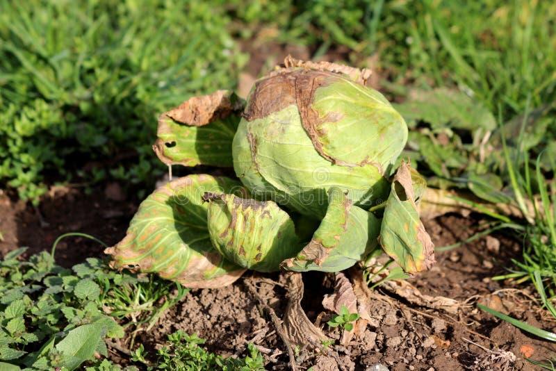 Gesloten Kool of Geleid kool blad groen jaarlijks plantaardig gewas met gedeeltelijk droge bladeren en volledig gevormd koolhoofd stock fotografie