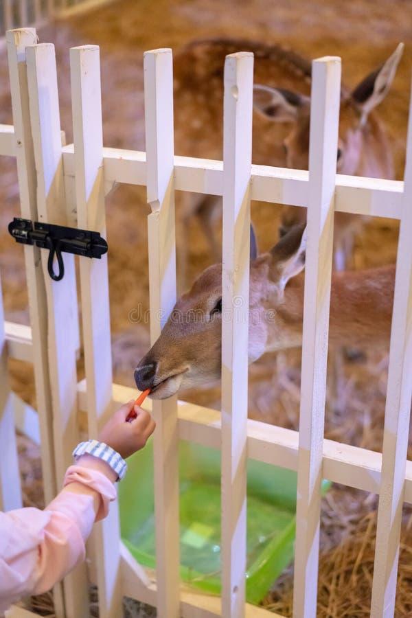 Gesloten omhoog hand die de mini verse herten van de wortelstok voeden door hout royalty-vrije stock foto
