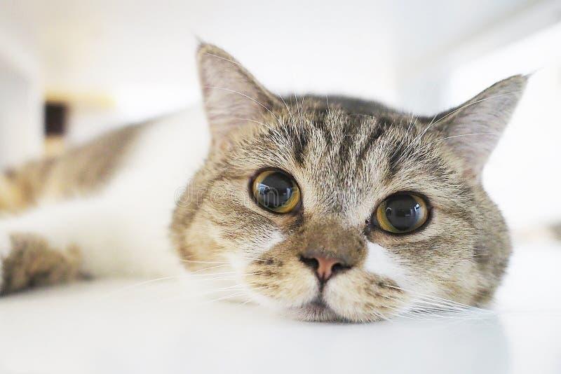 Gesloten omhoog mollig kattengezicht die op de vloer liggen royalty-vrije stock afbeelding