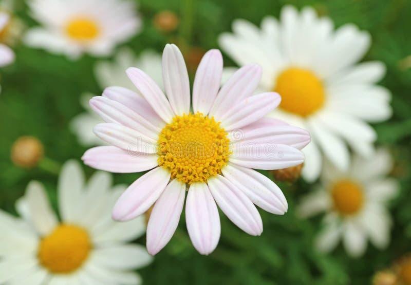 Gesloten omhoog Pale Pink Daisy Flower met Vage Margrieten op Achtergrond royalty-vrije stock fotografie