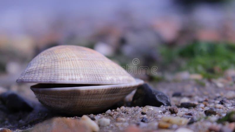 Gesloten Overzees Shell Close Up stock afbeeldingen