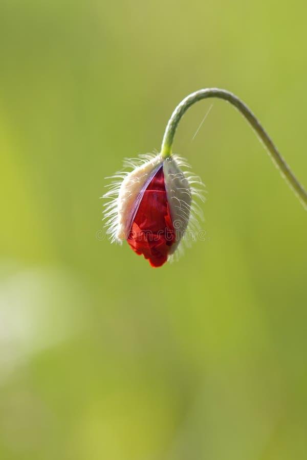 Gesloten Papaver - bloei stock afbeeldingen