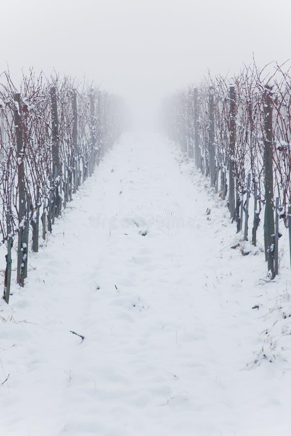 Gesneeuwde wijngaarden in de mist royalty-vrije stock foto