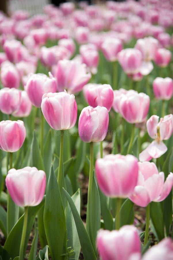 Gesneriana de Tulipa foto de archivo libre de regalías