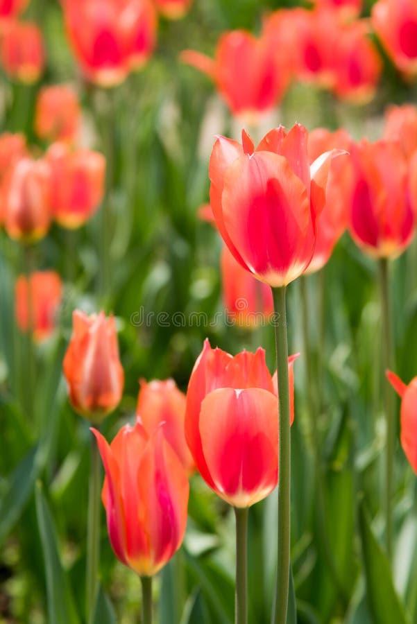 Gesneriana de Tulipa fotografía de archivo libre de regalías