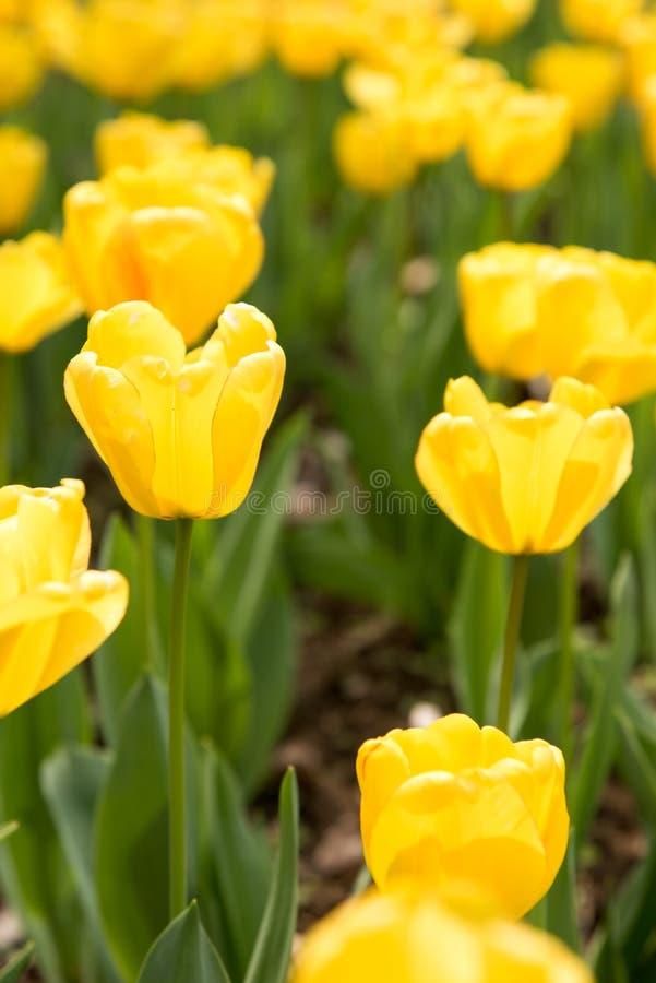 Gesneriana de Tulipa fotos de archivo