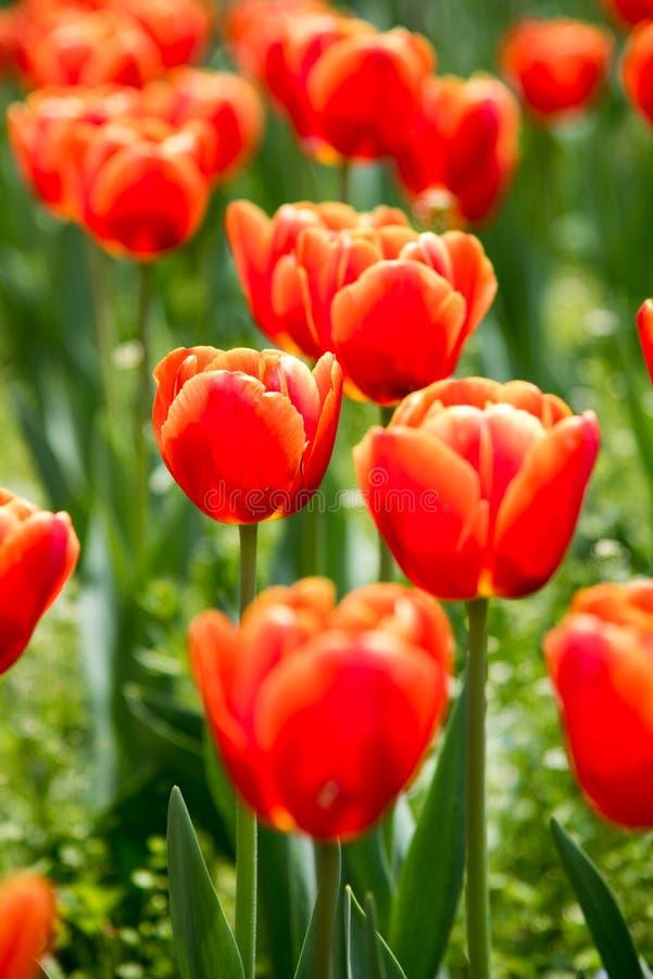 Gesneriana de Tulipa imagen de archivo
