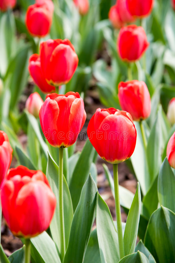 Gesneriana de Tulipa fotos de archivo libres de regalías