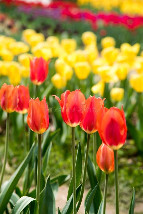 Gesneriana de Tulipa fotografía de archivo