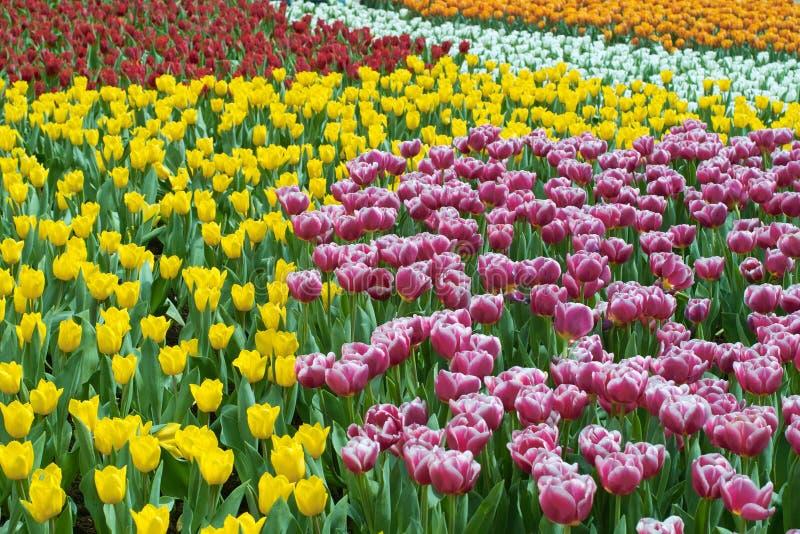 Gesneriana de Tulipa foto de archivo
