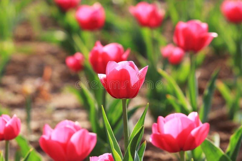 Gesneriana L de ˆTulipa de ¼ de Tulipï ‰ de ¼ d'ï photo stock