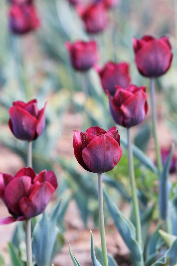 Gesneriana L de ˆTulipa de ¼ de Tulipï ‰ de ¼ d'ï photos stock