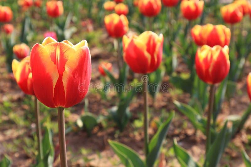 Gesneriana L van Tulipï¼ ˆTulipa ï ¼ ‰ stock foto