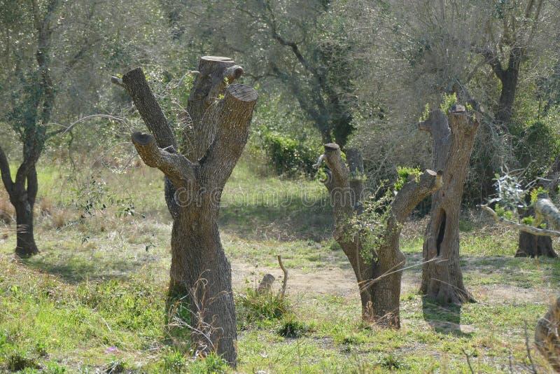 gesnoeid olijfbomen wegens de ziekte toe te schrijven aan xilella stock fotografie