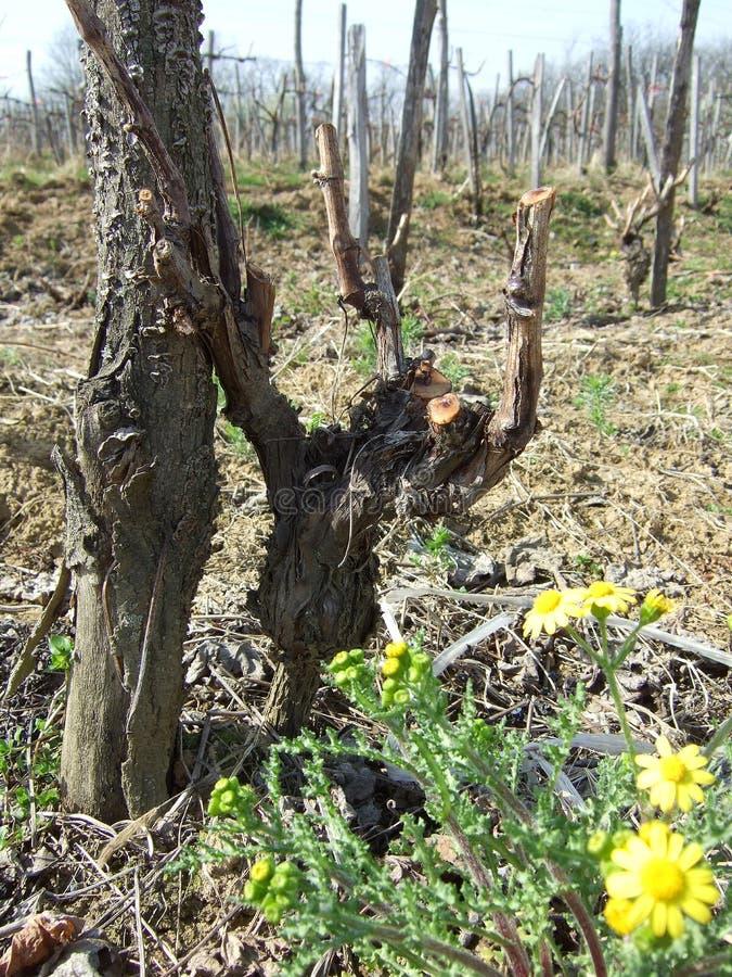 Gesnoeide wijnstok van druif en de herfstbloemen stock foto