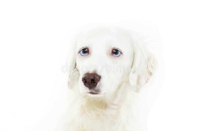 Gesorgtes und erschrockenes Hundegesicht expresion weil Feuerwerke, Nahrung, Gewitter, laute Geräusche Getrennt auf wei?em Hinter stockfoto