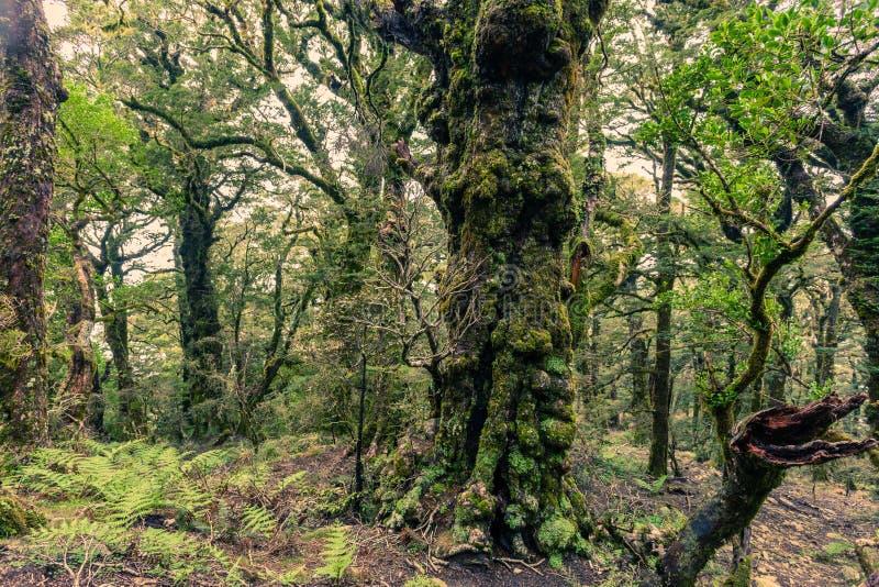 Gespenstischer reiner Gebirgsregenwald Marlborough NZ stockfoto