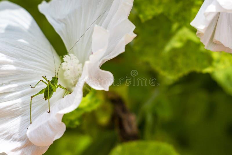 Gespikkelde Bush-veenmol nimf op een witte bloem royalty-vrije stock afbeeldingen