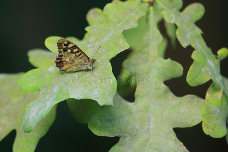 Gespikkelde houten vlinder royalty-vrije stock afbeeldingen