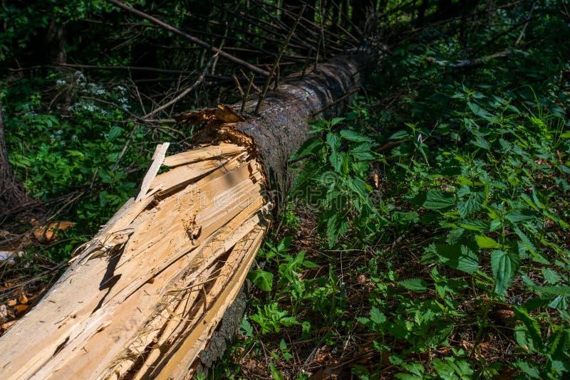 Gespleten boom, sterke wind gebroken de pijnboomboom stock afbeelding