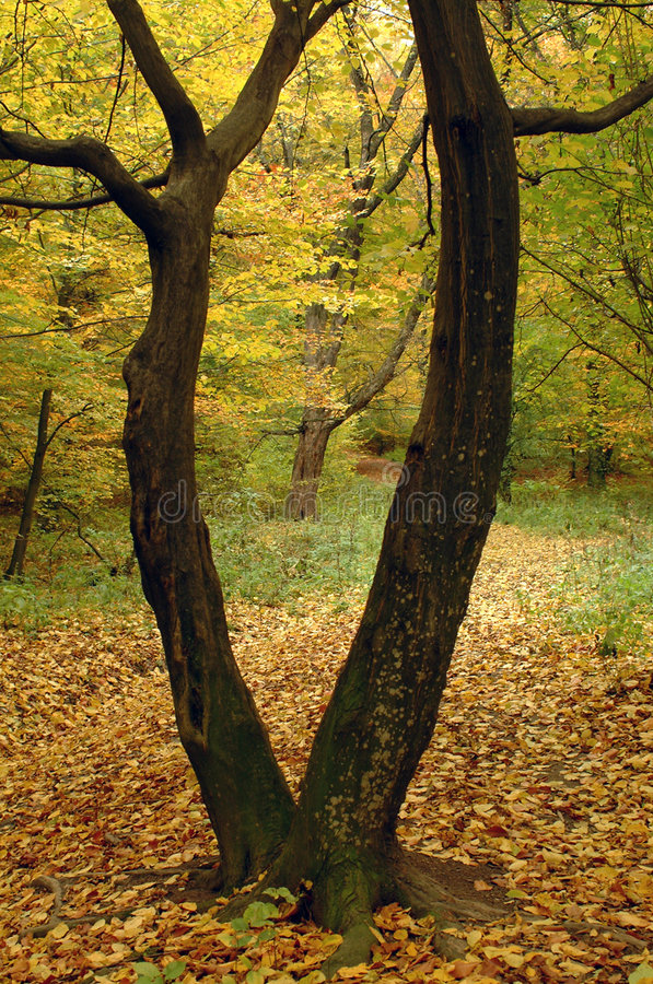 Gespleten lichaamsboom stock foto