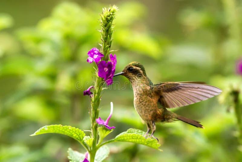 Gesprenkelter Kolibri, Adelomyia-melanogenys, die nahe bei violetter Blume, Vogel vom tropischen Wald, Nationalpark Manu schweben stockfotos