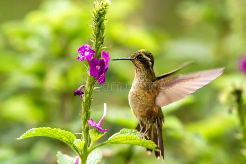 Gesprenkelter Kolibri, Adelomyia-melanogenys, die nahe bei violetter Blume, Vogel vom tropischen Wald, Nationalpark Manu schweben lizenzfreie stockfotos