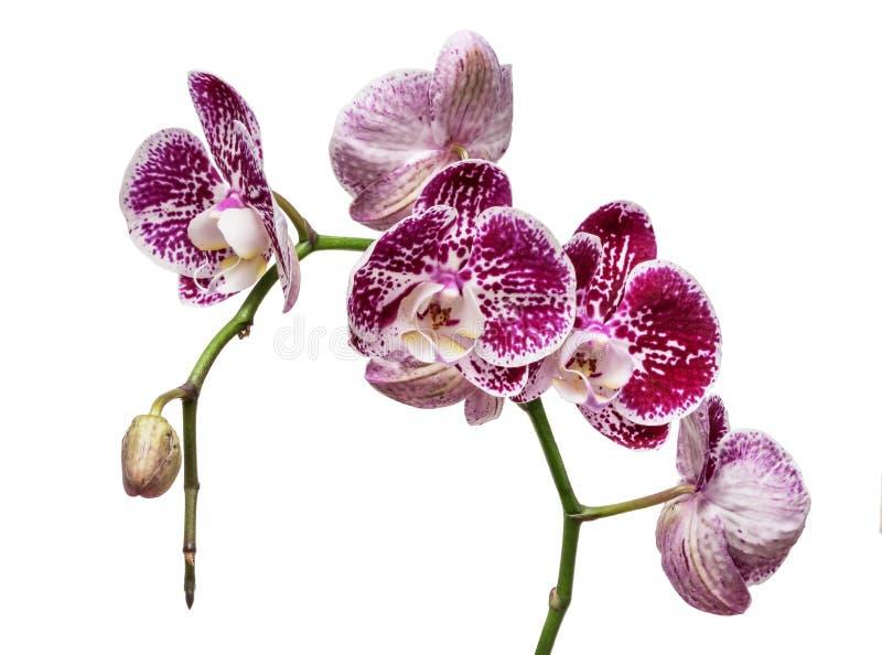 Gesprenkelter und beschmutzter Orchideenstamm des Purpurs Lila Blumen-Niederlassung Blüten-Fokusstapel des Phalaenopsis blühender lizenzfreies stockbild