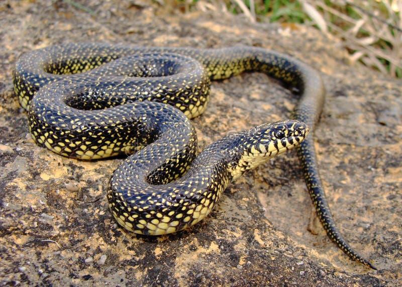 Gesprenkeltes oder geläufiges Kingsnake (König Schlange) stockbild