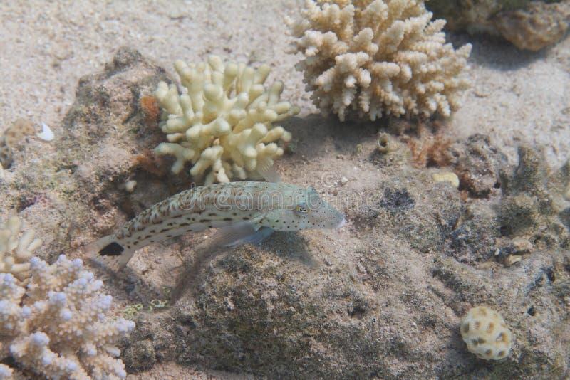 Gesprenkeltes Sandperch auf Coral Reef lizenzfreie stockbilder