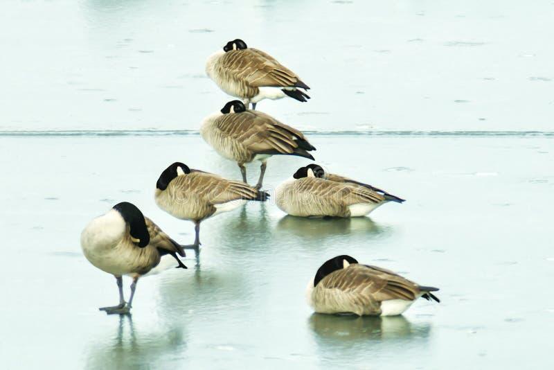 Gesse στην παγωμένη λίμνη στοκ φωτογραφίες με δικαίωμα ελεύθερης χρήσης