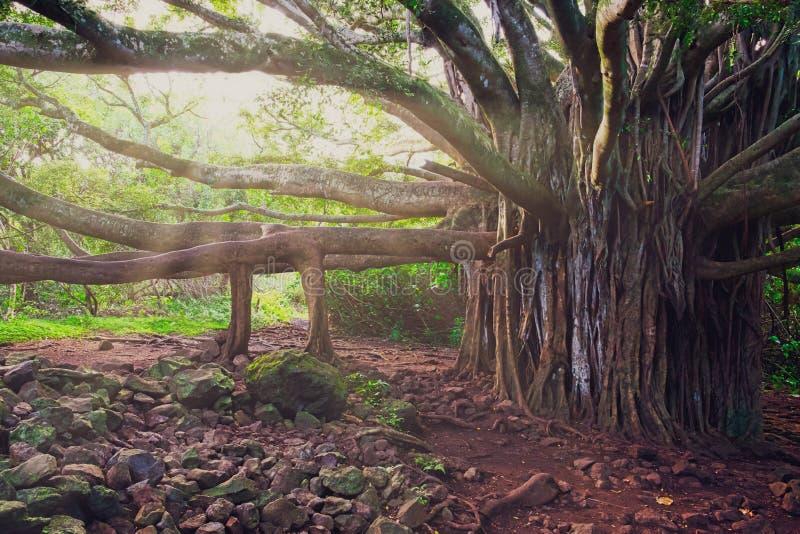 Gestalten Sie Ansicht des alten großen Baumes des Waldes mit langen Niederlassungen, Hawaii landschaftlich lizenzfreies stockfoto