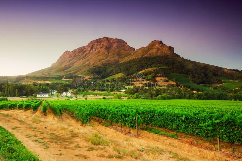 Gestalten Sie Bild eines Weinbergs, Stellenbosch, Südafrika landschaftlich. lizenzfreies stockbild