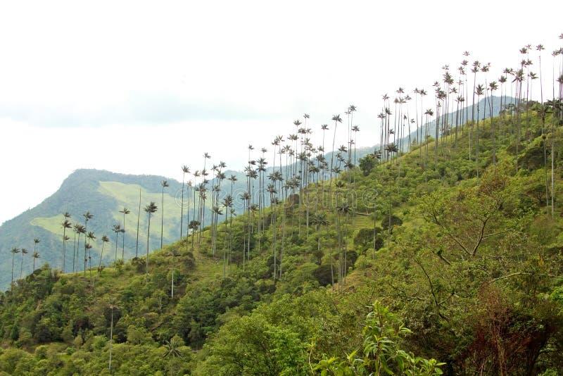 Gestalten Sie im Cocora-Tal mit Wachspalme, zwischen dem mounta landschaftlich stockfotos