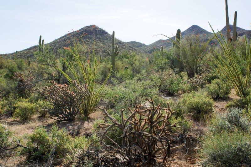 Gestalten Sie mit blühendem Kaktus Saguaro-Nationalpark, Arizona landschaftlich, lizenzfreie stockfotos