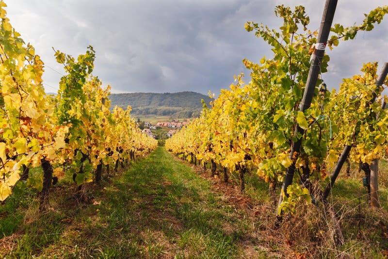 Gestalten Sie mit Herbstweinbergen in der Region Elsass, Frankreich landschaftlich lizenzfreie stockbilder