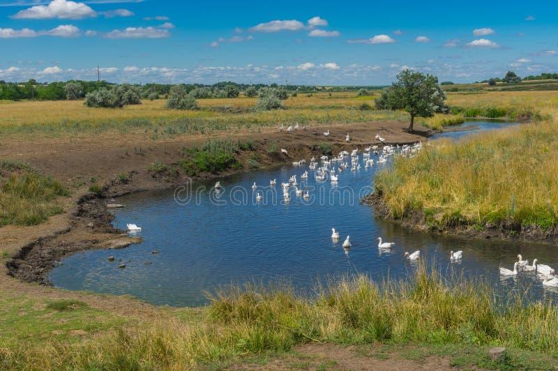 Gestalten Sie mit Sukha Sura und Menge von Haupt-gooses genießend mit Wasser an der Sommersaison landschaftlich stockbild