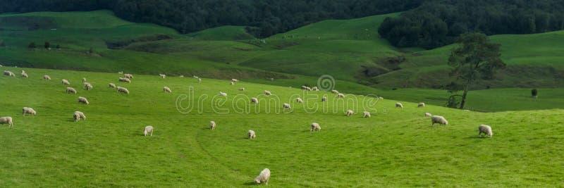 Gestalten Sie mit Wald und Weiden lassen Schafen, Nordinsel, Neuseeland landschaftlich lizenzfreie stockbilder