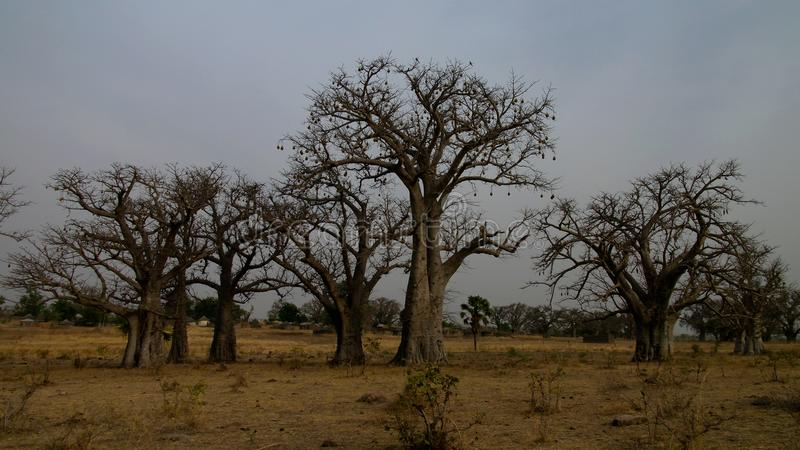Gestalten Sie mit Waldung von Baobabbäumen bei Sonnenuntergang, Tchamba, Kamerun landschaftlich lizenzfreies stockfoto