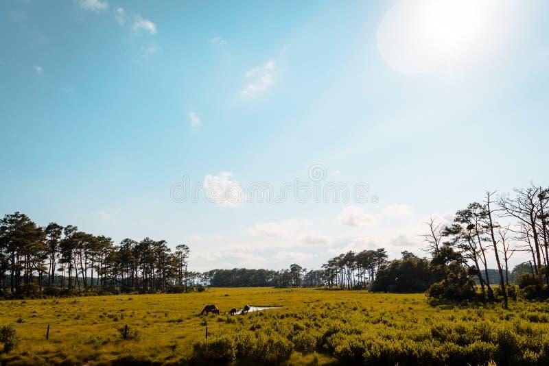 Gestalten Sie Schuss von Assateague-Insel in Virginia landschaftlich, in der wildes Pferd durchstreifen stockbilder